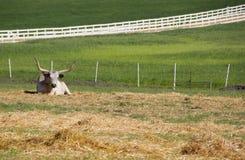longhorn Zdjęcie Stock