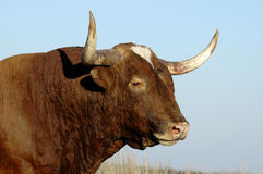 Longhorn. In profile Stock Image