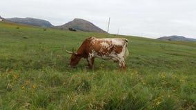 longhorn Foto de archivo