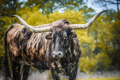 longhorn foto de stock royalty free