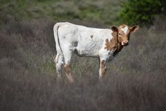 Longhorn baby in a field in Fort Worth Texas stock images