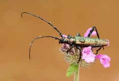 Longhorn beetle Stock Photos