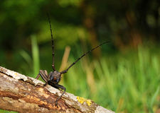 Longhorn beetle. (Cerambicidae) found in southern Romania Royalty Free Stock Photos