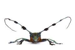 Longhorn Beetle Royalty Free Stock Images