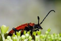 Longhorn beetle Royalty Free Stock Photos