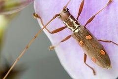 Longhorn Beetle (Batocera sp.) Stock Photos