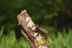 Longhorn beetle Royalty Free Stock Photos