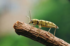 Longhorn beetle close-up. A small longhorn beetle on a branch Stock Photos