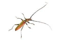 Longhorn beetle closeup Stock Image