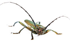 Longhorn beetle closeup Stock Photos