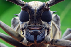 Longhorn beetle closeup Royalty Free Stock Images