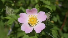 Longhorn beetle collects nectar or pollen from dog rose flower stock video