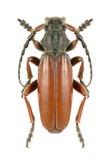 Longhorn beetle Dorcadion fulvum canaliculatum Stock Photography