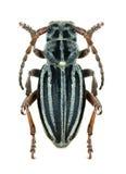 Longhorn beetle Dorcadion granigerum Stock Images