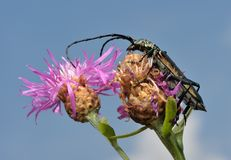 Longhorn beetle on a flower. Stock Photos