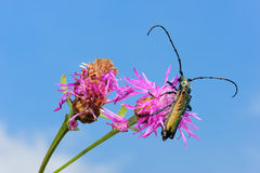 Longhorn beetle on a flower. Royalty Free Stock Photography