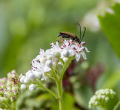 Longhorn beetle on flower Royalty Free Stock Images