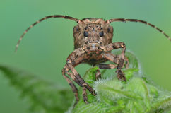 Longhorn beetle Royalty Free Stock Photography
