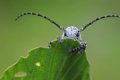 Longhorn beetle is hiding stock images