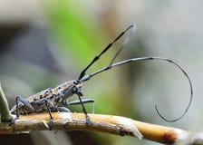 Longhorn beetle Stock Photography