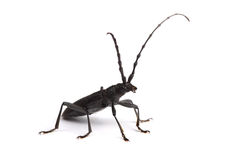 Free Longhorn Beetle Isolated On White Royalty Free Stock Image - 71517466