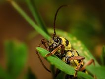 Longhorn beetle Royalty Free Stock Images