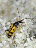 Longhorn beetle. Macro shot of a longhorn beetle (Leptura maculata) in a natural environment stock photos