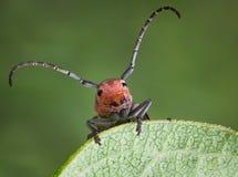 Longhorn Beetle on milkweed. A longhorn beetle is holding on to the egde of a milkweed leaf stock image