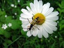 Longhorn beetle on a ox-eye daisy Stock Photos