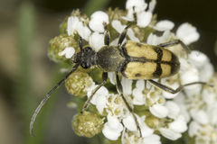 Longhorn beetle Pachytodes cerambyciformis in natural habitat close-up Stock Images