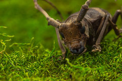 Longhorn beetle (Paraleprodera inidiosa), Beetle Royalty Free Stock Photo