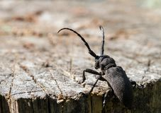 The longhorn beetle sits on a cut of a tree. Selective focus Royalty Free Stock Images