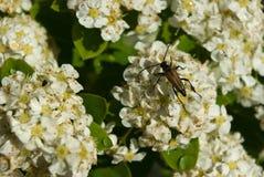 Longhorn beetle on Spiraea flowers. Longhorn beetle sitting on Spiraea flowers with rain drops in sunlight Stock Photo