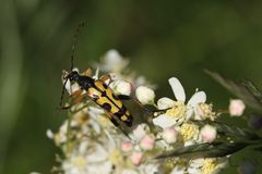 Longhorn beetle Stock Images