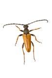 Longhorn beetle Stictoleptura rubra on a white background Stock Photo