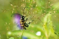 Longhorn beetle Stock Images