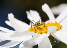 Longhorn beetle (Strangalia quadrifasciata) portrait Royalty Free Stock Photo