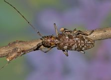 Longhorn beetle from top view. A Longhorn beetle of the Monochamus genus as shown from a top view looking down. Soft Spring flowers are in the background. These Royalty Free Stock Photography