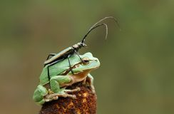 Longhorn beetle on tree frog Stock Photos