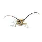 Longhorn Beetle Stock Image