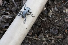 Longhorn beetle on wooden stick. Black beetle walking on wood Stock Images