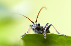 Longhorn beetles Stock Photography