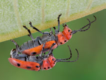 Longhorn beetles mating Royalty Free Stock Image