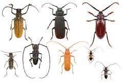 Longhorn beetles Royalty Free Stock Photo
