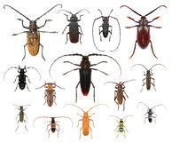 Longhorn beetles Stock Photography