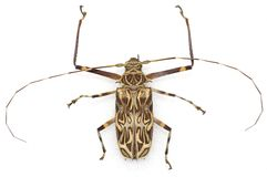 Longhorn bug Royalty Free Stock Images