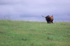 Longhorn bull. A longhorn bull standing in a pasture with a stormy sky in the background royalty free stock photos