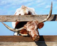 Longhorn Bull Stock Photos