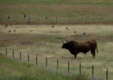 Longhorn Bull Fotos de Stock Royalty Free