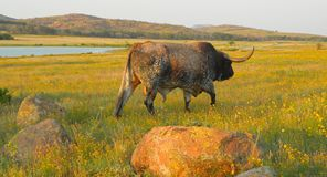 Longhorn bull calling his herd Royalty Free Stock Photo